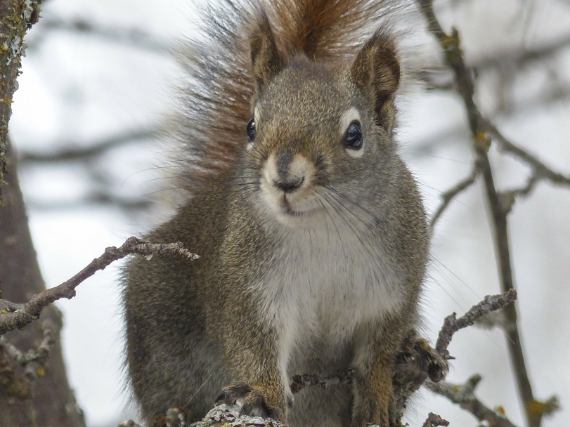 squirrel-300240_1920